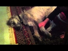 Galahad Irish Wolfhound So Tired from Day at Farm - Not Sure if he is Alive? Josh and James Test...