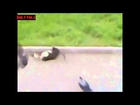Daily Fails: 2 Cats Vs 2 Pigeons Epic Fighting ►P75017 (28.06.2012)