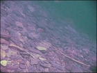 Steelhead and Rainbow Trout at Fall Creek (Freshwater Dive)