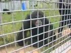 Air Force Space Program Chimpanzees