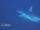 Requins  renard et gris aux Brothers