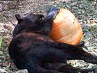 Big Cat Halloween - TIGERS LIONS VS PUMPKINS!
