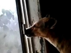 Really Smart Dog Opening A Window