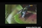 Böcek Kapan Bitki Venüs - www.etarim.net