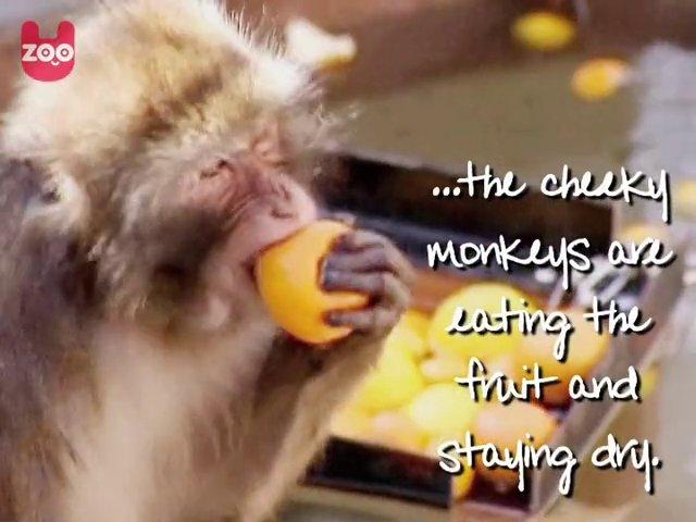 Fat Monkeys Pictures Fat Fat Monkeys   Popscreen