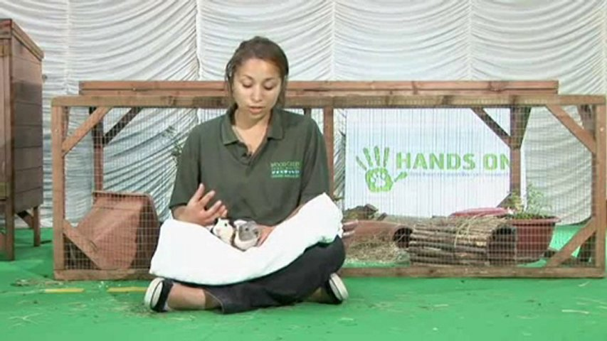 how to take care of a guinea pig video