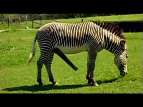 Zebras Mating Videos | just b.CAUSE