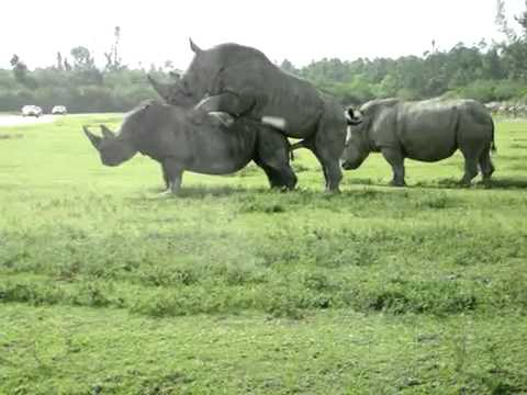 sex xxx animal Rhinos Mating | PopScreen
