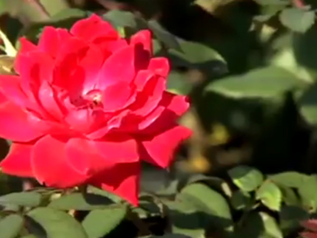 Roses In Garden: Winter Care For Knock Out And Drift Roses