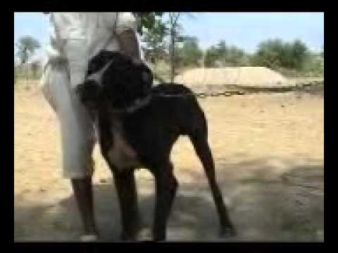 vs bully kutta - PicArena Image Match - KANGAL pictures, bully kutta ...