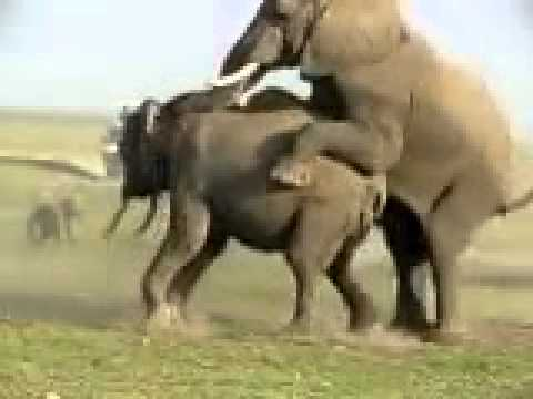 sex xxx animal Elephant Mating | PopScreen