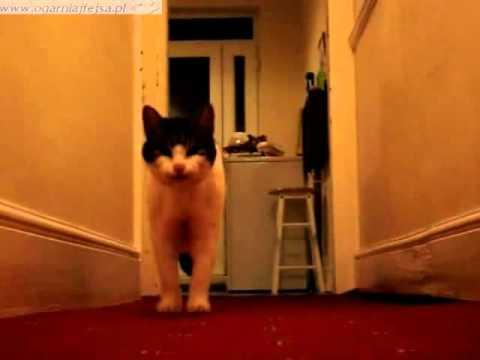 Śmieszny gadajacy kot - / funny talking cat / | PopScreen