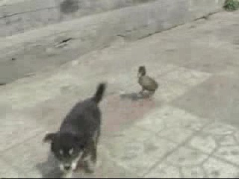 Cute duck follows puppy | PopScreen
