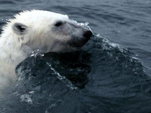 Polar Bear Hunts Baby Walrus | PopScreen