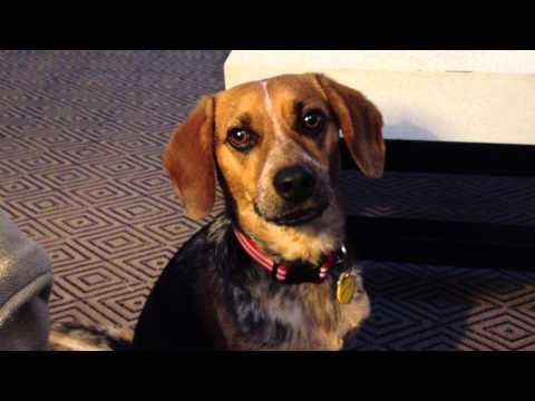 Dog Demanding Attention - Penny the Beagle Mix | PopScreen