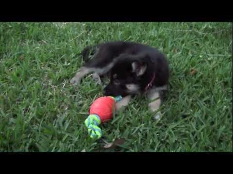 Puppies For Sale Gerberian Shepsky German Shepherd Siberian Pomsky ...