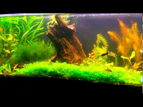 My betta fry 3 months old popscreen for How to breed betta fish