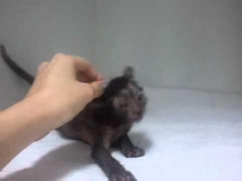 Lykoi Kitten ~