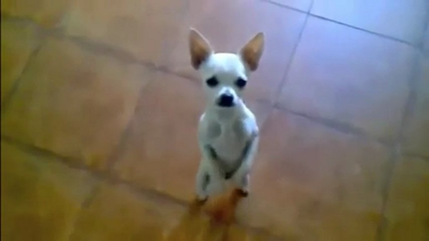 Funny Dog Videos Dancing Dailymotion