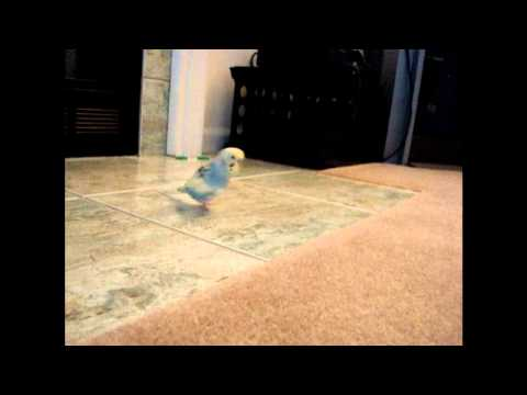 Mango brings 3 rings to the fireplace and plays with his big ball.wmv | PopScreen