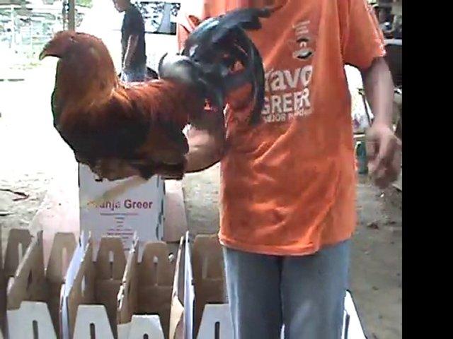 gallos de pelea GIRO PURO Y 6 POLLOS PARA TIJUANA | PopScreen