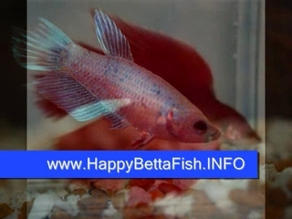 Guide to betta fish care popscreen for Betta fish care guide