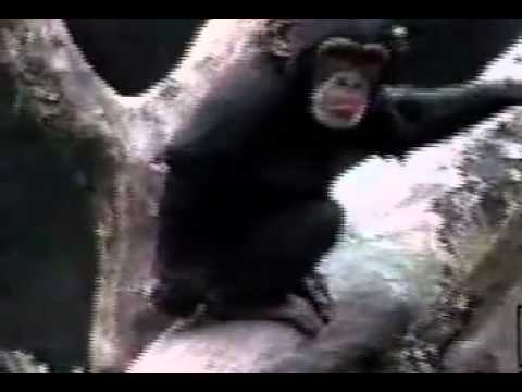Monkey Smells Finger in Butt and Passes Out Dramatically | PopScreen
