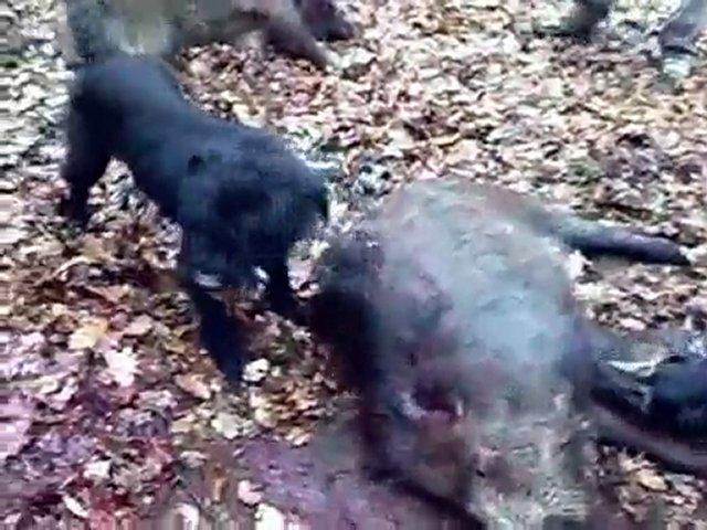 Jagd Terrier Giant Schnauzer Wild Boar Hunting | PopScreen