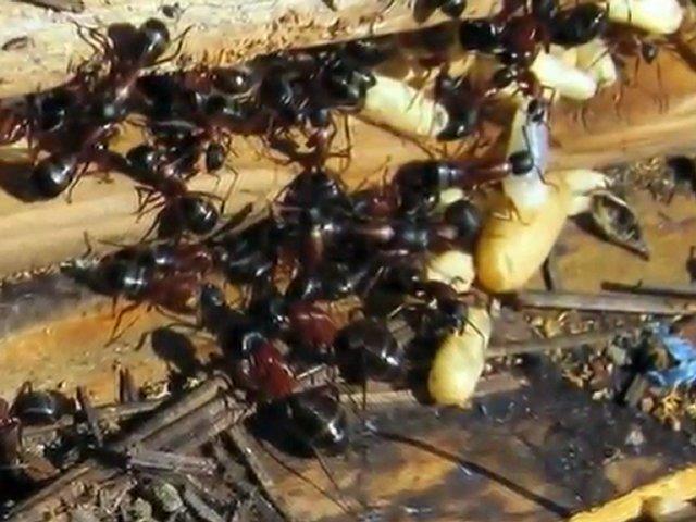 Red carpenter ants