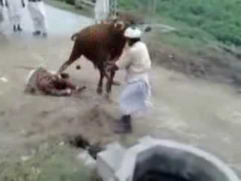 Qurbani Cow Kick http://www.popscreen.com/v/5Vs5y/Cow-Kick-by-Angry-Cow-FUNNY-CLIP#!