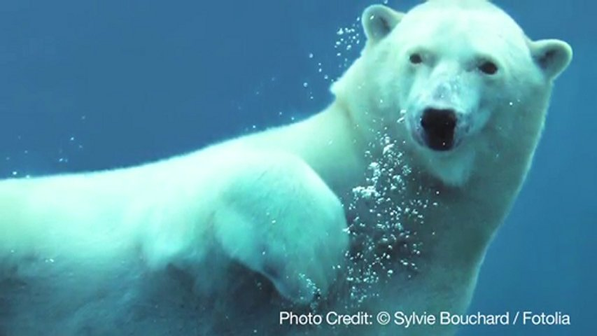 Unusual facts about polar bears popscreen