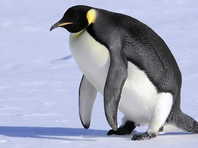 5 Interesting Facts About Penguins | PopScreen